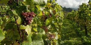 incentivi vino
